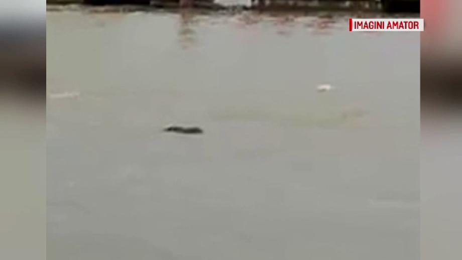 Un animal neobişnuit, filmat pe Dunăre! Cum ar fi ajuns aici. VIDEO