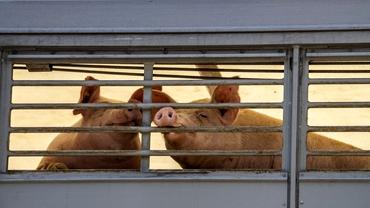 Carnea de porc se va scumpi cu 25% în Europa.Care este motivul și cum va fi afectată România