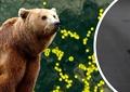 Unde a ajuns ursul care a terorizat un cartier întreg din Târgu Mureș! Relocat, animalul s-a plimbat inițial prin toată țara. Video