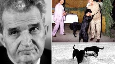 Câinii lui Nicolae Ceaușescu, labradorii Corbu și Șarona, au avut o soartă groaznică după moartea stăpânului lor. Video