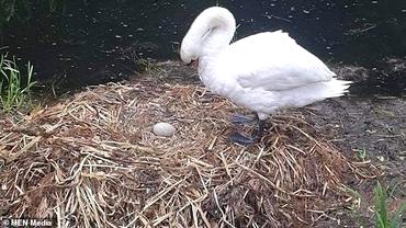 Lebădă, găsită moartă lângă cuibul cu ouă, distrus. Pasărea a murit de singurătate