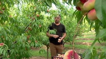 Un buzoian a dat lovitura cu aceste fructe. Sunt tot mai căutate în magazine și se recoltează din iunie până în septembrie