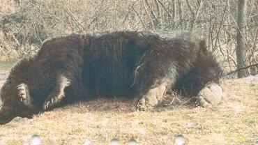 Detalii noi în cazul ursului Arthur, omorât de prințul Emanuel. Unde a fost identificată blana animalului