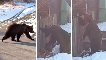 Locuitorii din Azuga, terorizați de urși. Animalele au încercat să rupă un gard