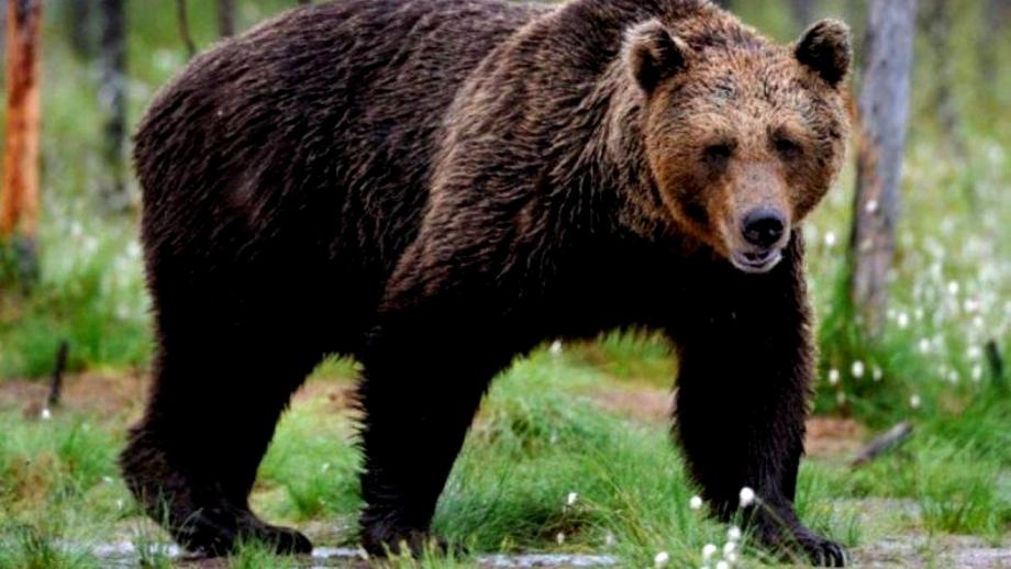 Tragedie în Suceava! Un urs a omorât un tânăr de 26 de ani! A doua victimă a ajuns la spital