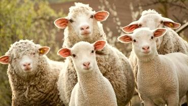 Scumpiri pe bandă rulantă înainte de Paște! Cât costă carnea de miel