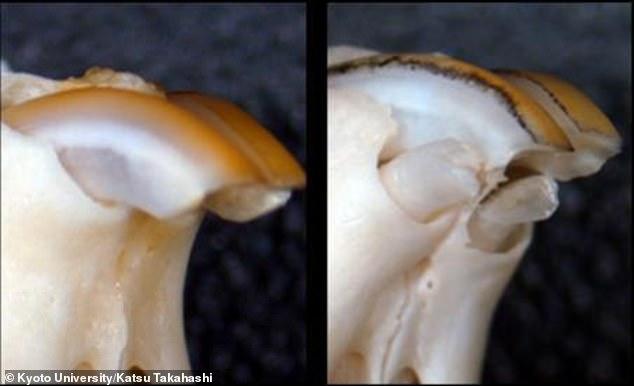 Cercetătorii japonezi au descoperit secretul regenerării dinților